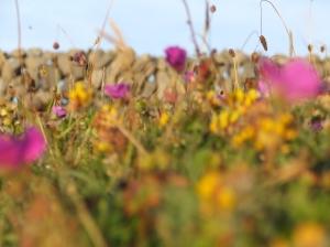 Wild Flowers Inis Oírr